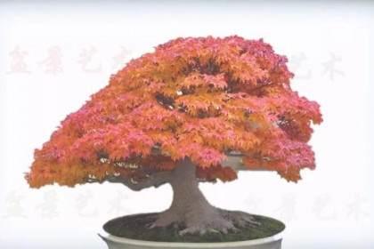有些树木盆景 在同一个季节里会呈现丰富的色彩