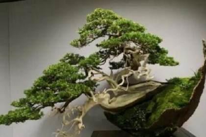 树木盆景所表达的内容 则偏重于自然风景