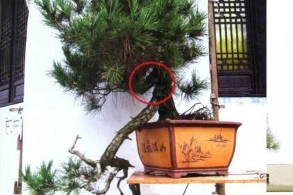 图解 如何给双干黑松盆景制作飘枝的方法