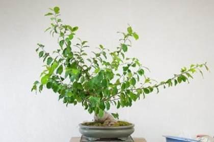 图解 榕树盆景怎么修剪的技巧