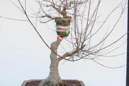 图解 怎么在枫树盆景发芽后做空中压条