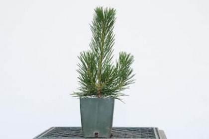 图解 春季最适合修剪黑松树盆景
