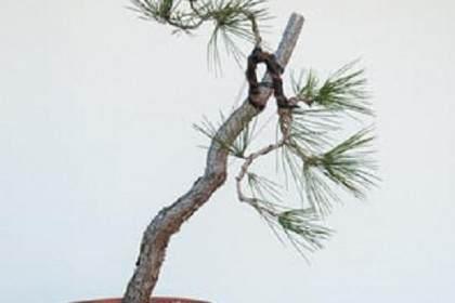 图解 如何弯曲松树盆景的分支
