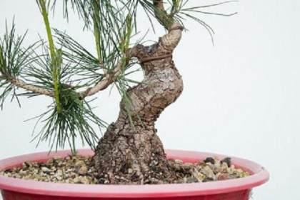 图解 对松树盆景9年的修剪养护过程