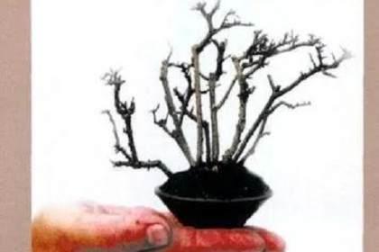 从扦插到成型 杂木盆景发芽后的制作过程