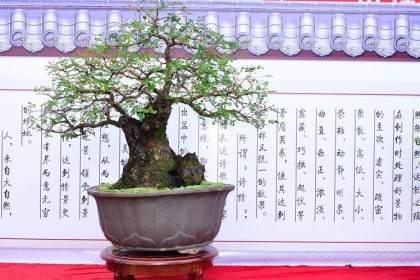 目前日本式的 台湾式的盆景 在内地受到关注