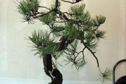 对文人松树盆景的造型 图片
