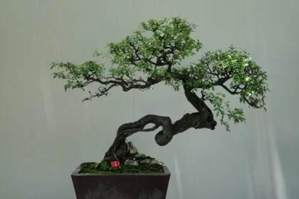 苏州举办的苏派盆景艺术展
