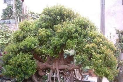 小叶赤楠盆景的上盆与浇水措施