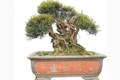 怎么制作三叶轮生小叶红芽赤楠盆景老桩