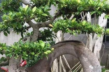 榕树盆景怎么浇水修剪的5个方法