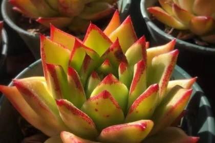 口红多肉植物怎么养护方法 图片