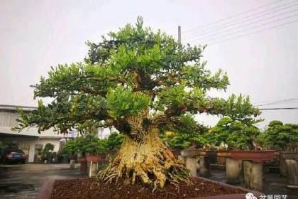 黄杨盆景桩头怎么洗根翻盆的方法 图片