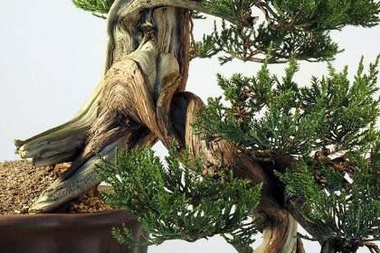 重新修剪2010年制作的落基山杜松盆景
