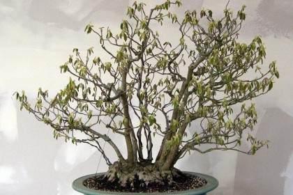 穗花蜡瓣花:一种旧的冬季榛盆景