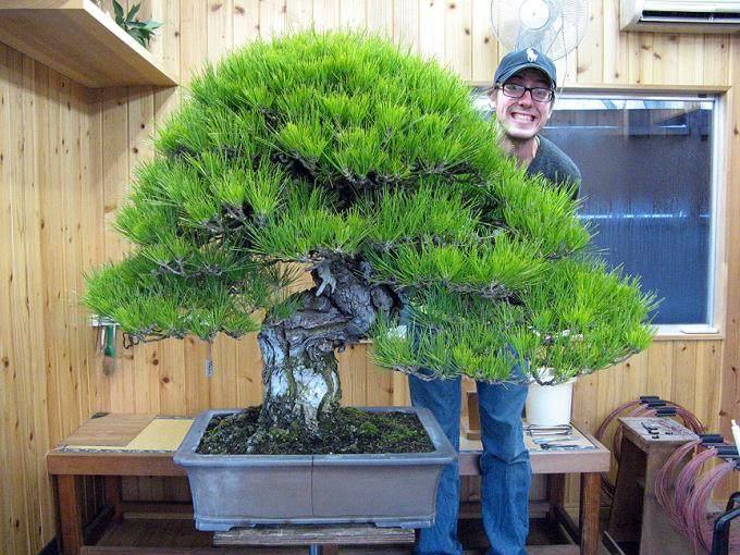 马特雷尔在日本跟铃木信二学习盆景的经历