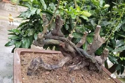 如何让小叶榆树提根盆景和苔藓搭配?