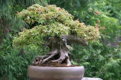 在之前的帖子中 我们谈到了捏回日本枫树盆景