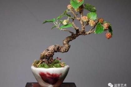 桑树盆景在春季什么时候修剪萌芽最好