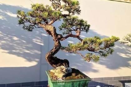 北京中山公园唐花坞成功举办盆景国际竞赛