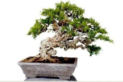本期榕树盆景是柯成昆先生的新近之作