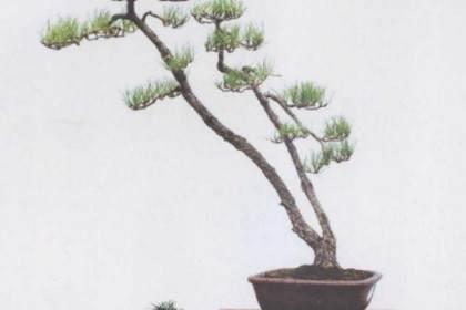 黑松盆景生桩怎么栽培的4个方法