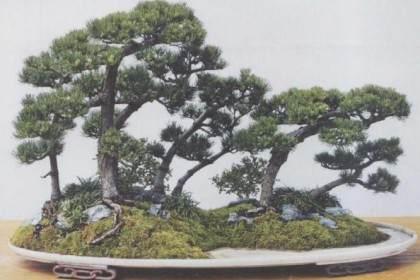 五针松盆景的配盆