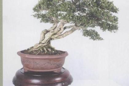 花木盆景杂志已经出版发行500多期
