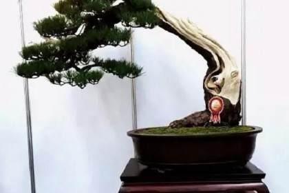 怎么看中国盆景和日本盆景的不同?