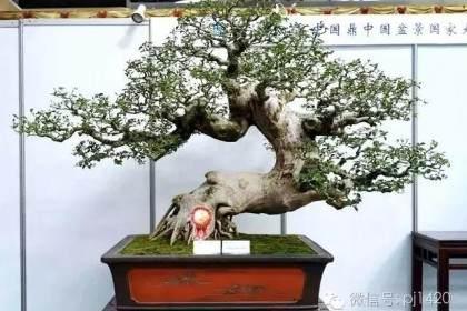 松树盆景病虫害的防治