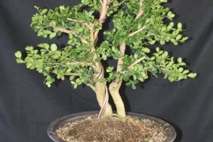黄杨木是室外盆景 你可以在温室里养一个