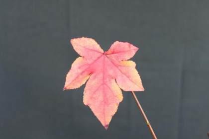 落叶盆景都与季节有关 其中最好的 如榆树 枫树