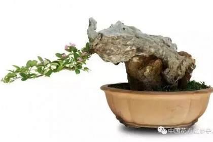 我为什么将树桩盆景定义为生命雕塑艺术?