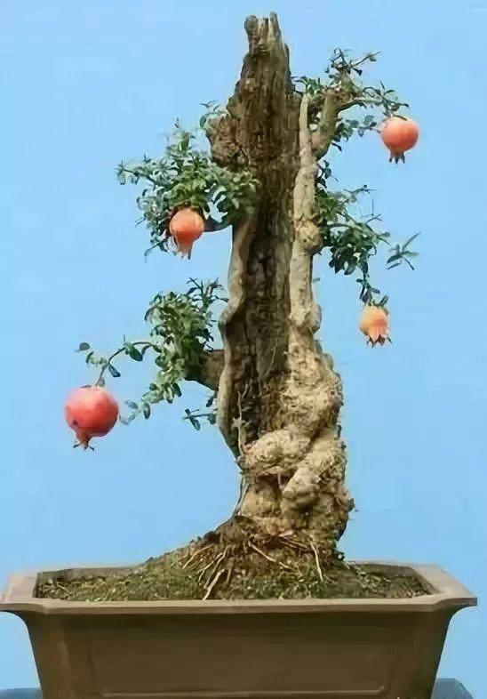盆景干枯的树桩如何养活?