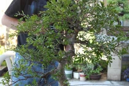 在哪里可以得到中国榆树盆景?