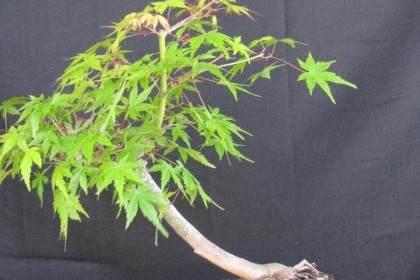 秋天的颜色是日本枫树盆景的标志