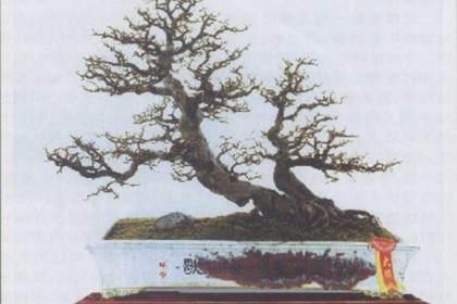 如何展示岭南盆景中截干蓄枝的独特手法?