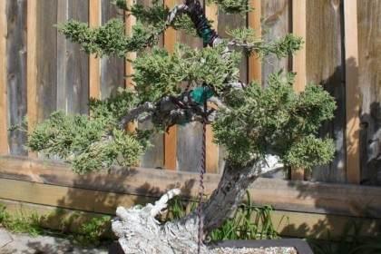 莲水杜松盆景的浇水和施肥
