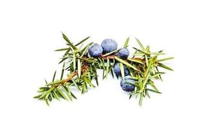 杜松子:欧洲刺柏的成熟球果