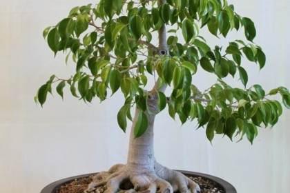 榕树绝对令人着迷 而榕树盆景永远不会被迷住