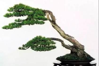 松树盆景怎么发芽 如何造型修剪 图片