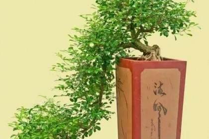 九里香盆景怎么养 需要注意什么?