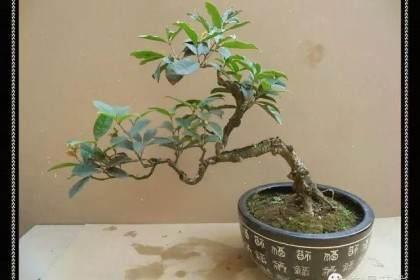 四季桂盆景在春天发芽时的浇水与施肥
