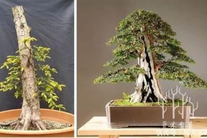 图解 欧洲红豆杉6年从下山桩到矮霸盆景
