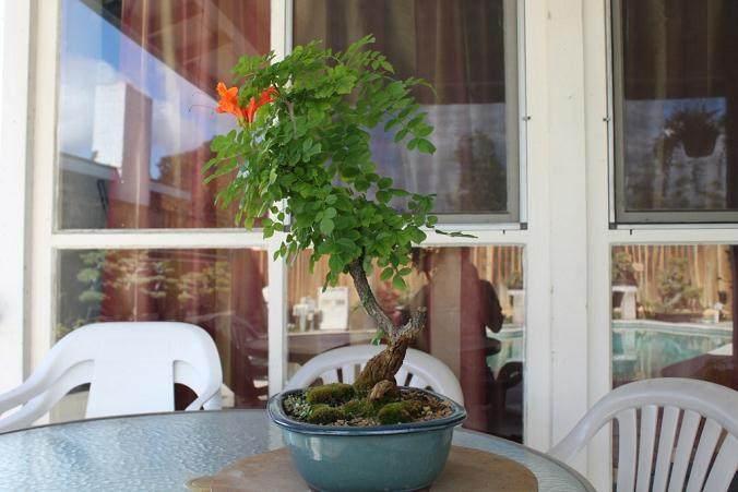 海角金银花盆景的修剪和整形