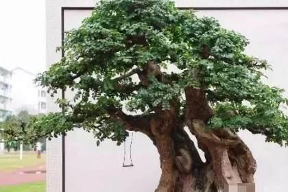 榆树盆景如何过冬?记住这3点就够啦