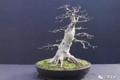 图解 枫树老桩盆景的生根补根的方法