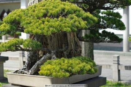 中国常州2009年春季盆景奇石展销会期间