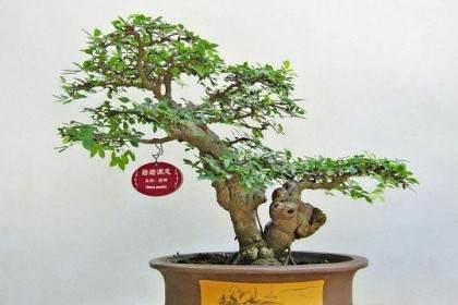 常州2009年春季盆景展销会在尧塘公路花园举办