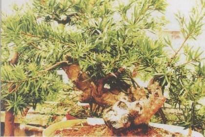 罗汉松非常适合岭南盆景截干蓄枝选芽的要求
